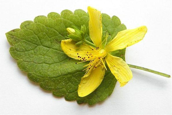 lemon balm st johns for herpes healing salve