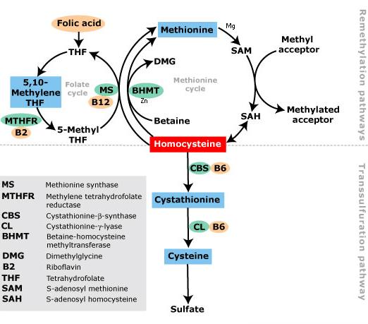 Methylation Pathways