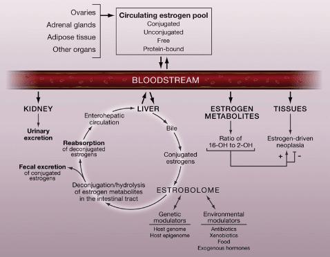 Estrobolome overview